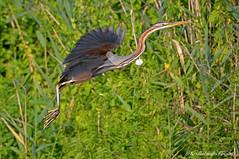 Airone rosso _011 (Rolando CRINITI) Tags: airone aironerosso uccelli uccello birds ornitologia curtatone mincio natura