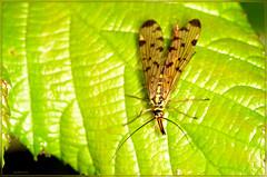 DSC_0021.jpg scorpian fly panorpa germanica (2) (bobspicturebox) Tags: himalayan balsam lady bird bugs slow worm musk beetle potato capsid shield bug larva snail fungus