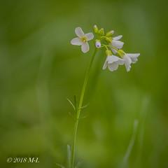 Waldblume (Mich_Lu) Tags: pflanzen makro blüte weis wald bume