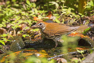 , Grive des bois, Hylocichla mustelina, Wood Thrush, Laffite's Cove Nature Society, Galveston, Texas