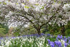 Cherry blossoms (mfeingol) Tags: spring washington cherryblossom blossom flower azaleaway tree seattle washingtonparkarboretum