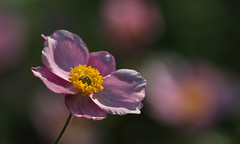 In Anemone Paradise (AnyMotion) Tags: japaneseanemone herbstanemone anemonejaponica blossom blüte petals blütenblätter bokeh 2018 floral flowers plants pflanzen botanischer garten frankfurt anymotion colours colors farben pink rosa yellow gelb 7d2 canoneos7dmarkii summer sommer été verano zomer estate ngc npc