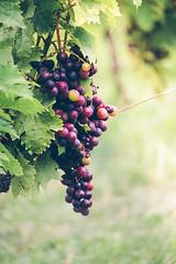 Soon (Inka56) Tags: 7dwf macroorcloseup grape vineyard fruit hbw