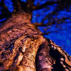 Marqué (Atreides59) Tags: arbre tree nuit night france nord ciel sky écorce bleu blue pentax k30 k 30 pentaxart atreides atreides59 cedriclafrance nature