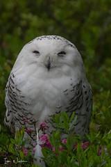Snowy Owl-SNP-18-3 (Ian L Winter) Tags: ianwinter ianwinterphoto irishloop nature newfoundland snp salmoniernaturepark snowyowl www wwwianwinterphotocom