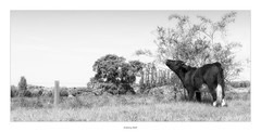 Breakfast with Tiffany (explored) (AnthonyCNeill) Tags: cow kuh vache vaca animal tier grass tree sky field countryside black white blanc noir blanco negro schwarz weiss farm outdoor panoramic panoramica panorama