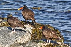 Black Oystercatchers (richmondbrian) Tags: dncb 201829 tsawwassen reifel