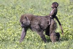 Great riding form! (tmeallen) Tags: olivebaboon mother baby foraging ridingbareback greatridingform rainyseason greengrass wildlife safari ngorongorocrater ngorongorocaldera ngorongoroconservationarea tanzania eastafrica oldworldmonkey