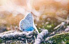 Kékellő (hispan.hun) Tags: blue butterfly nature animal naturephotography naturephoto pentacon 100mm macro projector projectorlens sonyimages sony hispanhu hispansphotoblog fly vintage manualfocus