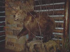 Grizzly Bear (Adventurer Dustin Holmes) Tags: 2005 springfield missouri ozarks springfieldmo greenecounty indoor lowlight animal bear animalia mammal mammalia carnivora carnivore chordata taxidermy basspro bassproshops outdoorworld