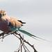 Coracias caudatus (Lilac-breasted Roller)