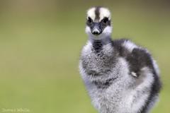 Cape Barren gosling (Jims Wildlife) Tags: capebarrengoose gosling australia bird cereopsisnovaehollandiae