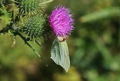 Zitronenfalter (Gonepteryx rhamni) (Hugo von Schreck) Tags: hugovonschreck schmetterling butterfly macro makro insect insekt zitronenfalter gonepteryxrhamni canoneos5dsr tamron28300mmf3563divcpzda010