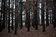 In the Pines (michaeldantesalazar) Tags: forest trees nature dry woods wood treetrunk trunk summer pine pines pinetree pinetrees canada manitoba bark