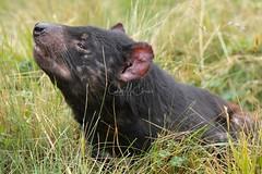 Tasmanian Devil (Caleb McElrea) Tags: tasmaniandevil dasyurid carnivorousmarsupial marsupial carnivore devilscradle cradlemountainlakestclairnationalpark cradlemountain unesco worldheritagesite tasmaniansouthwestwilderness tasmania wilderness