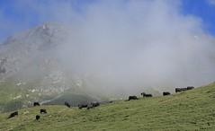alpage de Torrent (bulbocode909) Tags: valais suisse moiry grimentz valdanniviers vachesdhérens vaches alpagedetorrent alpages montagnes nature brume vert bleu paysages troupeaux