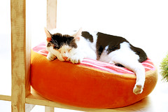 CATalonia (kirstiecat) Tags: catalonia spain espana barcelona cat feline caturday kitty furry animal chat gato gata meow catnap