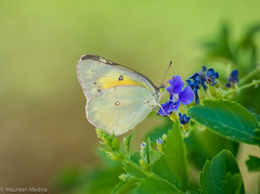 Yellow Wanderer (Maureen Medina) Tags: butterfly sulphur yellow purple flower leaves closeup maureenmedina artizenimages
