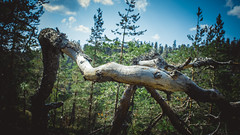 Old Tree trunk (Tatu234) Tags: nature suomi finland koli summer park sky tree trunk green forest lovely light sunlight blue sony dslr camera amateur photographer photography photograph photooftheday old love beautiful hdr europe 2018 trees