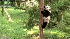 2018_07-28c (gkoo19681) Tags: beibei chubbycubby fuzzywuzzy adorableears climbing treetime remembering contentment toocute adorable havingfun switcheroo visiting justbecausehecan comfy ccncby nationalzoo