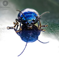 Blue Beetle (Xlavius) Tags: beetle bug blue tiny macro focus stacking hand held insect outside bright