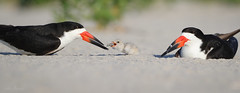 Black Skimmer (johnbacaring) Tags: skimmer chick 1dayold blackskimmer birds birding shorebird wildlife nature