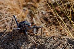 Krekel or Cricket (Sjak11) Tags: cricket namibië sony krekel closeupmacro