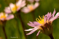 (WendieLarson) Tags: wickedhair wendielou wildflower wildflowers white wendielarson flower fleurs flowers fiori flora flores d7000 sierranevada sequoianationalpark california bloom bigmeadows nikon nature nationalparks mountains macro meadow landscape landscapes petals pink plant plants 40mm aster lily