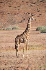 Mountain giraffe (Giulia La Torre) Tags: namibia africa nature wild travel traveling photography etosha national park etoshapark wildlife life fauna animali animals himba people giraffe