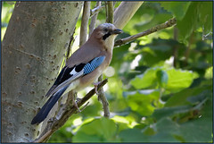 Jay (image 1 of 2) (Full Moon Images) Tags: anglesey abbey nt national trust cambridgeshire bird wildlife nature jay