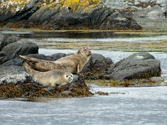 Harbour Seals (chdphd) Tags: islayseaadventures islay sea adventures phocavitulina phoca wildlifetour commonseal