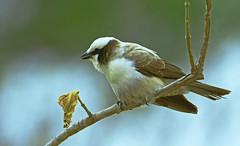 Shrike (Aubrey Stoll) Tags: shrike bird kruger national park bokeh small africa south wildlife nature safari aves feathers outdoors resting bushes dry season