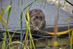 Cat at Keswick (Bury Gardener) Tags: keswick cumbria lakedistrict england uk 2018 cats cat