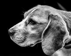 wet and stinky (colskiguitar) Tags: beagle dog wetdog hound bnw mono canine fur