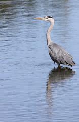 Grey Heron - Ardea cinerea (Visual Stripes) Tags: heron bird water reflections sigma150mm sigma14teleconverter canoneos7d handheld