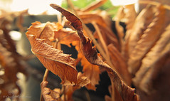Leaves do withered (stormymayen) Tags: macro monday leaves withered brown
