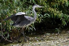 focused and ready to take off (Siggital) Tags: grey heron graureiher fischreiher bid vogel water wasser wildlife wild see lake buga südpark oberbilk düsseldorf germany deutschland
