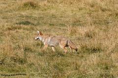 Coyote 3 (pniselba) Tags: coyote parquenacional yellowstone yellowstonenationalpark nationalpark wyoming usa estadosunidos parquenacionalyellowstone eeuu
