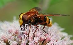 Hornet Hoverfly - Volucella zonaria - NNR Martin Down 020818  (7) (ailognom2005) Tags: hornethoverfly volucellazonaria nnrmartindown hampshire martindownnnr nationalnaturereserve bugsfliesetc macro wildlife britishwildlife