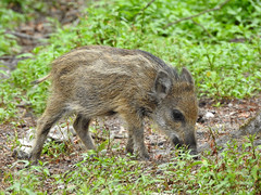 Sus scrofa (Vulpe Photographie) Tags: animal sanglier marcassin wildboar susscrofa mammifère bois nature wildlife wildlifephoto wildlifephotography naturelovers coolpix nikon p900 france seinemaritime normandie normandy