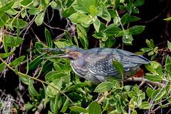 Green Heron (Linda Martin Photography) Tags: mexico westerncaribbean littlegreenheron butoridesvirescens bird cozumel naturethroughthelens alittlebeauty specanimal ngc coth5 npc