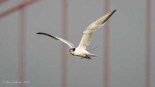 Elegant Tern - banded with radio transmitter