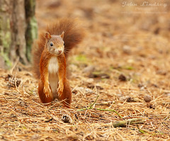 RS4 WM (John Thirkell) Tags: wild wildlife formby beach liverpool red squirrel sciurus vulgaris tree trees wood woods forrest woodland woodlands habitat nature food feed feeding