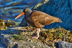 Black Oystercatcher (richmondbrian) Tags: dncb 201829 tsawwassen reifel