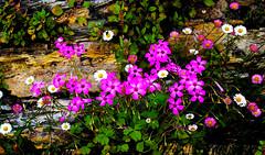 Flores silvestres | Wild flowers | Fleurs sauvages | Fiori di campo | Wildblumen | Полевые цветы (António José Rocha) Tags: flores cores natureza beleza pedras floresselvagens