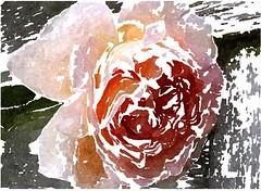 Gott ähnlich sein, dies ist des Menschen Ehre (amras_de) Tags: rose rosen ruža rosa ruže rozo roos arrosa ruusut rós rózsa rože rozes rozen roser róza trandafir vrtnica rossläktet gül blüte blume flor cvijet kvet blomst flower floro õis lore kukka fleur bláth virág blóm fiore flos žiedas zieds bloem blome kwiat floare ciuri flouer cvet blomma çiçek zeichnung dibuix kresba tegning drawing desegnajo dibujo piirustus dessin crtež rajz teikning disegno adumbratio zimejums tekening tegnekunst rysunek desenho desen risba teckning çizim
