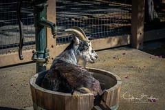 Farm-2652 (Jeffrey Balfus (thx for 3 Million views)) Tags: sonya9mirrorless sonyalpha sonyilce9 farmanimals sonyilce6300 sony6300 mirrorless sonyemount goat thegalaxy