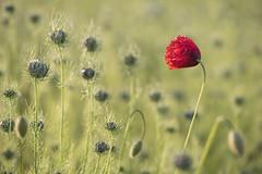 Une denière danse * (Titole) Tags: poppy coquelicot nigellededamas nigella nigelle nigelladamascena red buds titole nicolefaton
