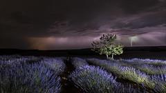 Rayo (www.justigarcia.com) Tags: rayo relámpago tormenta campo lavanda brihuega noche justi justigarcía cursodefotografía espliego árbol labanda