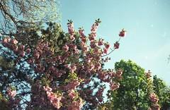 Spring (sztomy_analog) Tags: 35mm 35mmfilm 35mmfilmphotography film filmsnotdead filmisnotdead filmphotography explorewithfilm ishootfilm analog analogphotography photography magyaranalog magyar hungarian sztomy art sztomyphoto fujieternavivid250d fujieterna250d vivid eterna